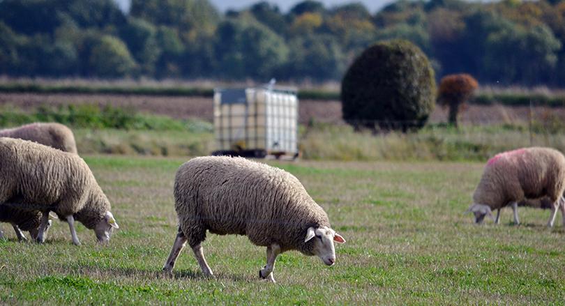 Knuthenlunds får