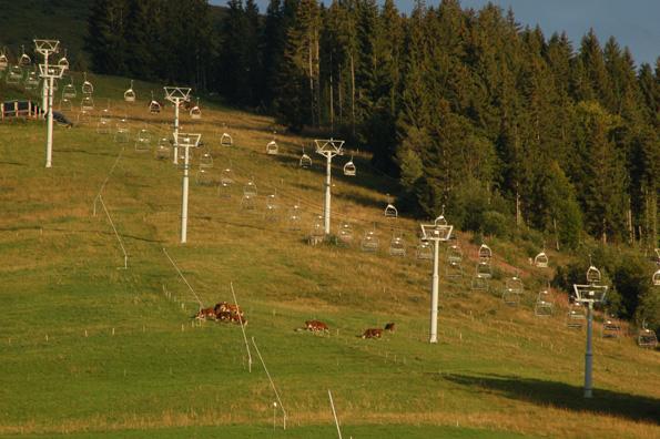 Køer græsser på en skibakke i Savoien