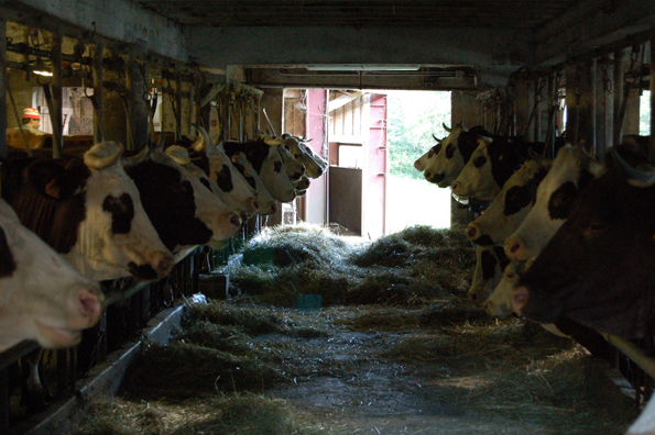 Køer i stalden på La Ferme des Champs